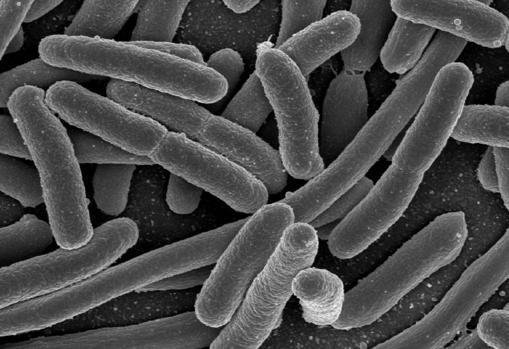 hallan en el cerebro bacterias similares a las del intestino 1