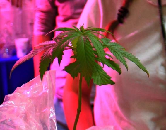 legalizacion de la marihuana en mexico 3