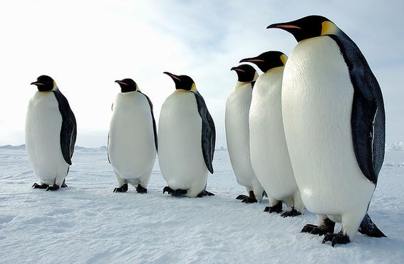 encuentran bacterias resistentes a los antibioticos en pingüinos 1