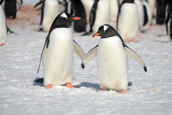 encuentran bacterias resistentes a los antibioticos en pingüinos 3