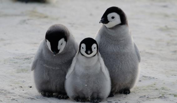 encuentran bacterias resistentes a los antibioticos en pingüinos 4