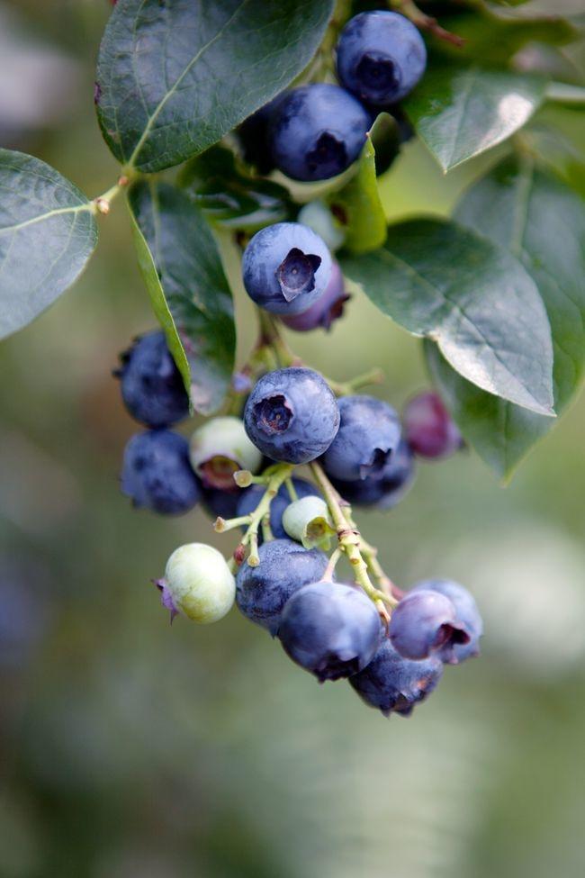 Beneficios del arándano, la fruta que te ayuda contra el cáncer y la diabetes