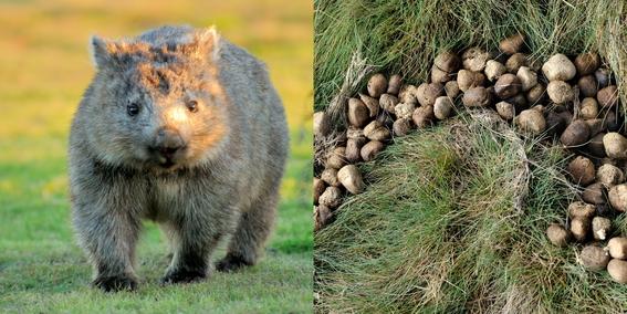 por que los wombats hacen popo cuadrada 1