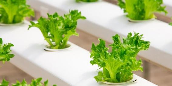 prohiben lechuga romana por brote de e coli en eua 1