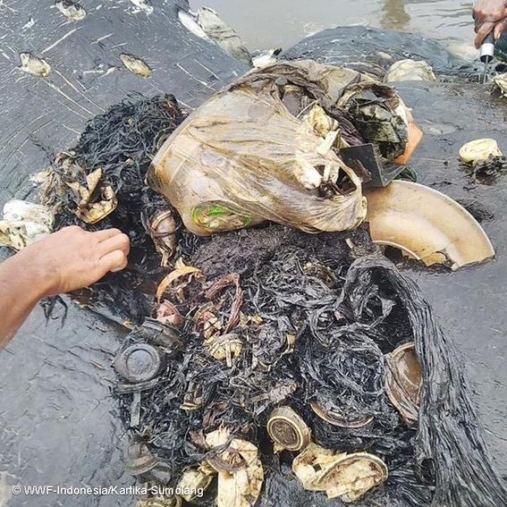 encuentran cachalote muerto con seis kilos de plastico en indonesia 1
