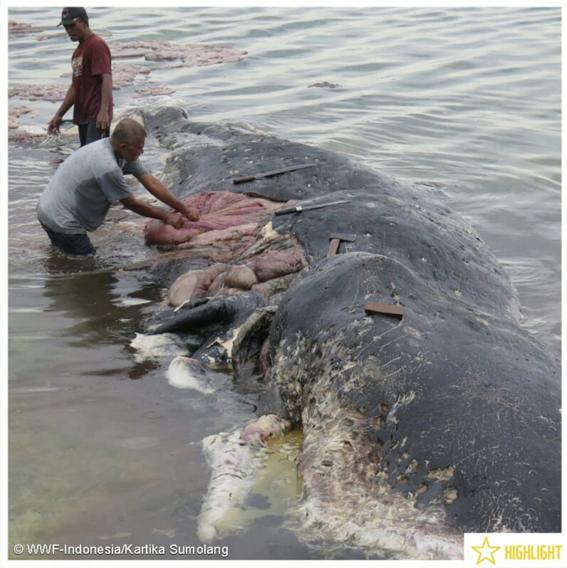 encuentran cachalote muerto con seis kilos de plastico en indonesia 2
