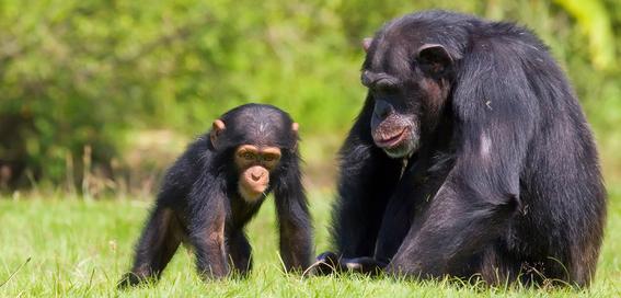 por que incremento el infanticidio de los chimpances 1