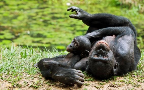 por que incremento el infanticidio de los chimpances 2
