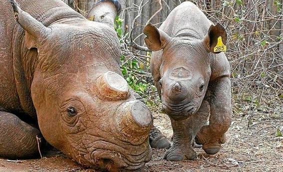 sothebys dejara de subastar cuernos de rinoceronte 1