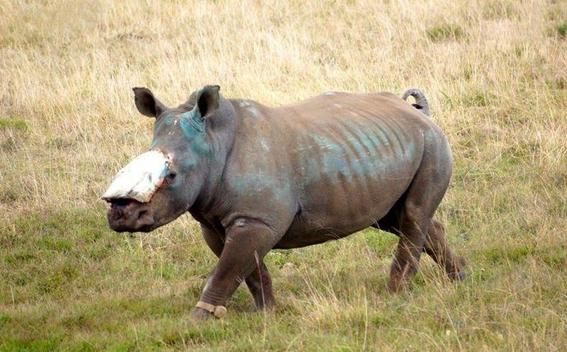 sothebys dejara de subastar cuernos de rinoceronte 2