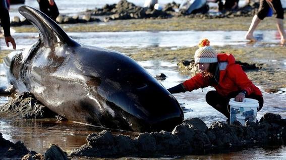 hallan 145 ballenas muertas en una playa de nueva zelanda 1