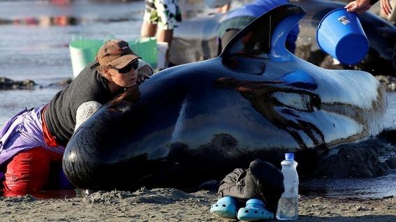 hallan 145 ballenas muertas en una playa de nueva zelanda 2