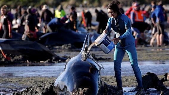 hallan 145 ballenas muertas en una playa de nueva zelanda 3
