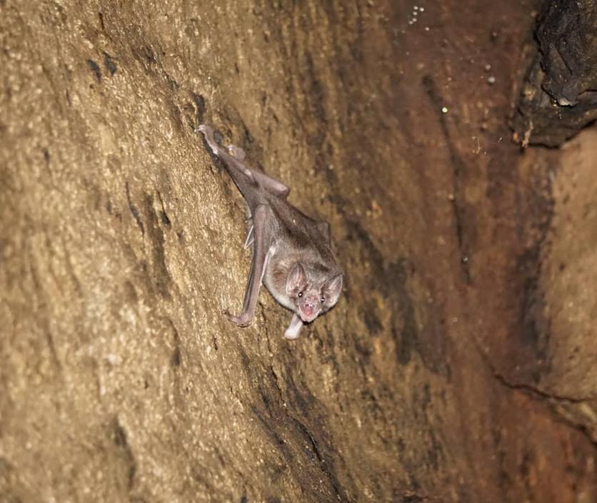 The common vampire bat (Desmodus rotundus) roosting in a cave, Honduras © Zeltia Lopez