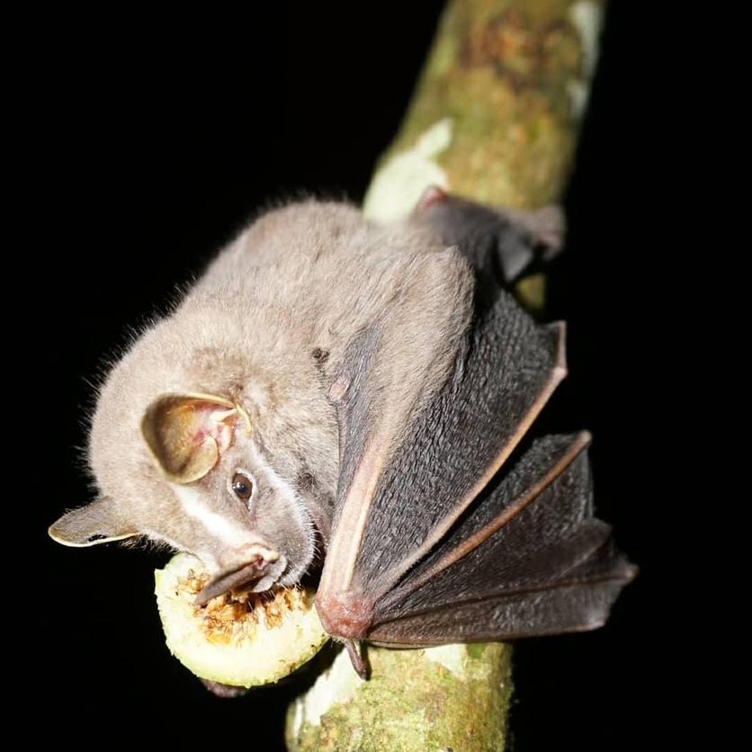 A brown tent-making bat (Uroderma bilobatum) feasting on a fig, © Zeltia Lopez