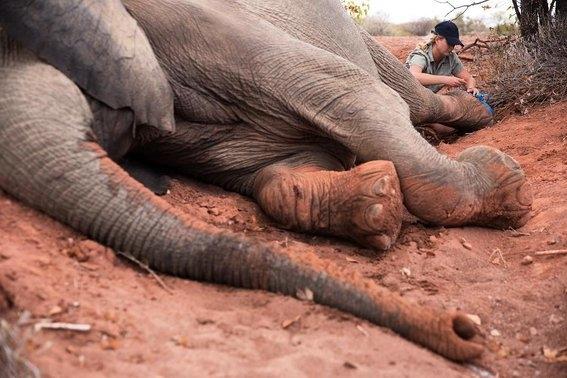Así es cómo Moving Giants rescata elefantes haciéndolos viajar mil millas 2