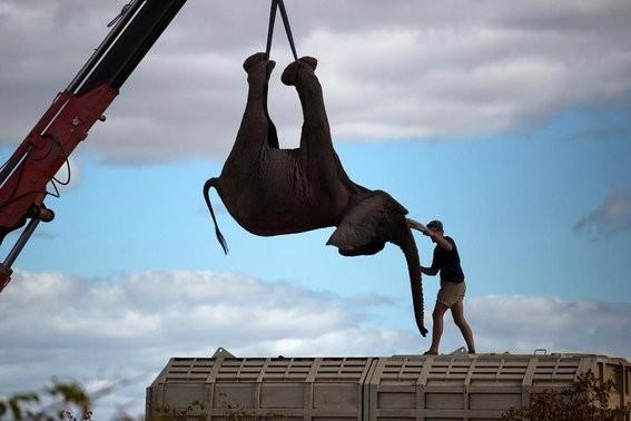 Así es cómo Moving Giants rescata elefantes haciéndolos viajar mil millas 3