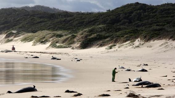 aparecen veintiocho ballenas muertas en playa de australia 1