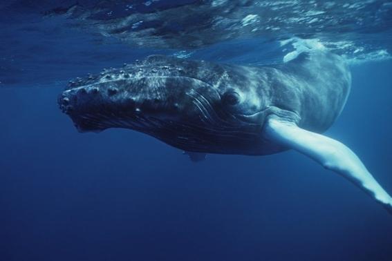 aparecen veintiocho ballenas muertas en playa de australia 2