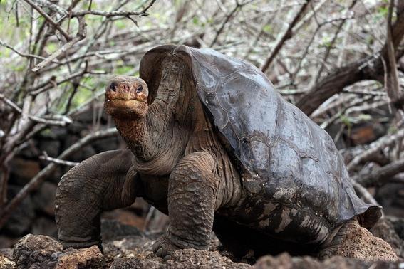 secuencia genetica del solitario george tortuga revela su longevidad 1