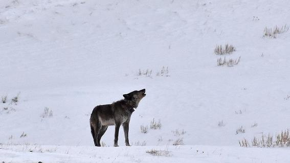 cazan a loba spitfire en el parque nacional yellowstone 1