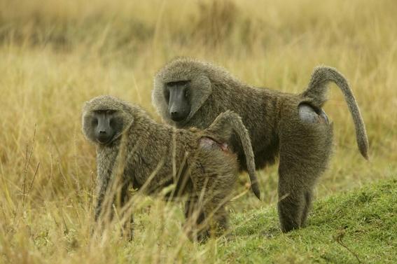 monos sobreviven seis meses trasplante de corazon de cerdo 1