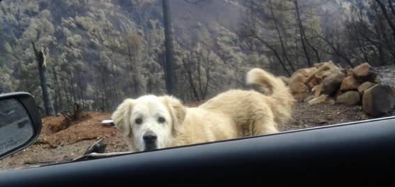 perro espera a su duena en los restos de su casa despues de incendio california 1