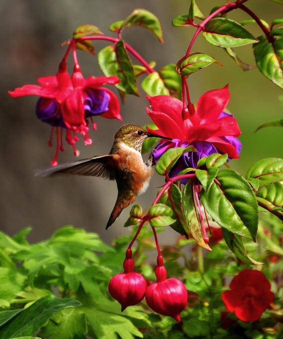 mexico promueve crear jardines urbanos para conservar el colibri 1