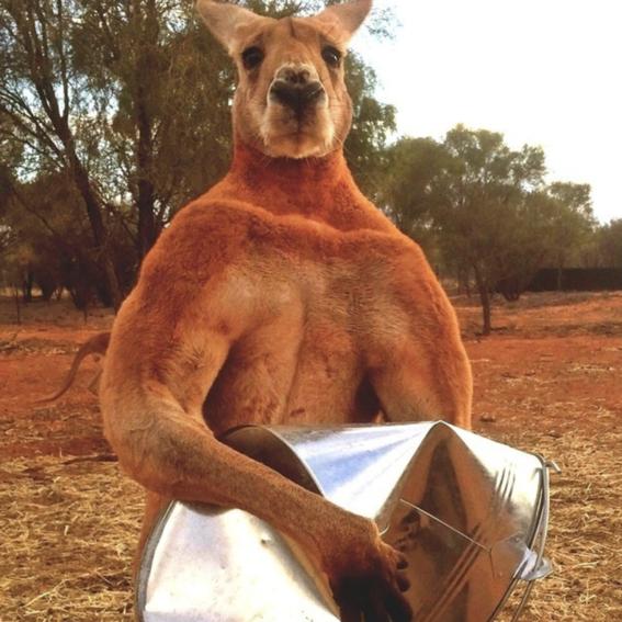 muere roger el canguro mas grande del mundo 1