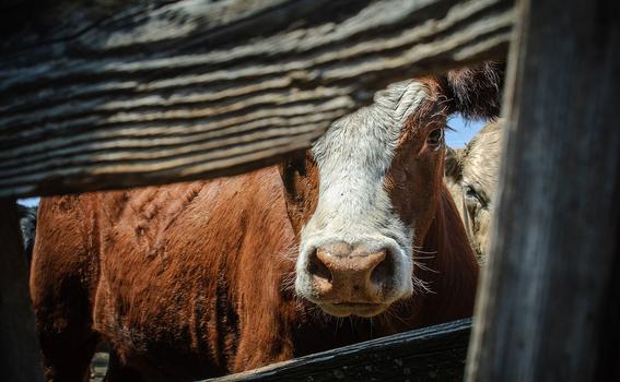 dejar de comer carne tiene efectos positivos en el planeta 1