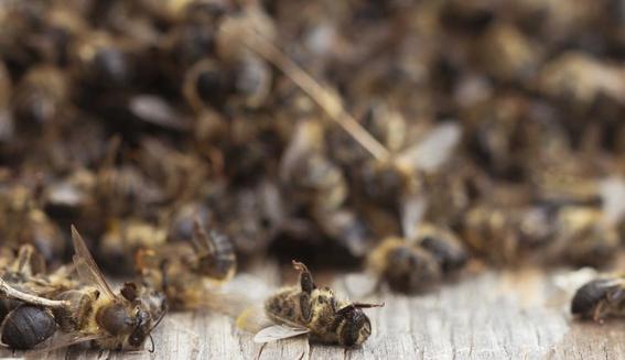 desarrollan primera vacuna para insectos para salvar a las abejas de miel 2