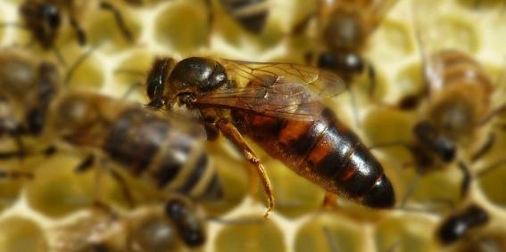 desarrollan primera vacuna para insectos para salvar a las abejas de miel 1