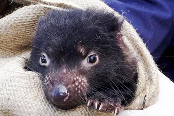 gen de los demonios de tasmania podrian combatir el cancer 1