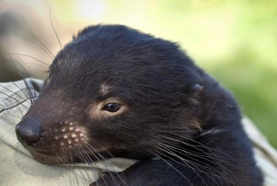 gen de los demonios de tasmania podrian combatir el cancer 2