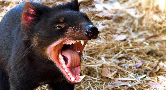 gen de los demonios de tasmania podrian combatir el cancer 3