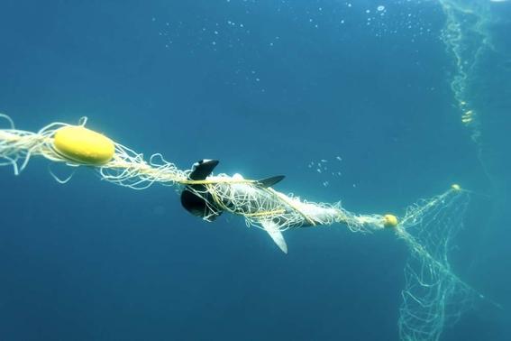 disminuye 92 por ciento la poblacion de tiburones en gran barrera de coral 1