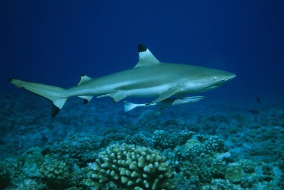 disminuye 92 por ciento la poblacion de tiburones en gran barrera de coral 2