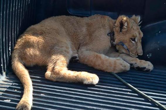 profepa recibio un cachorro de leon africano 1