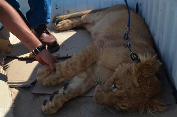 profepa recibio un cachorro de leon africano 2