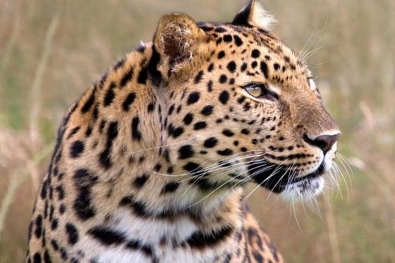 un leopardo mata a un nino de tres anos en india 1