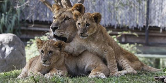 tres leones mueren atropellados por un tren en india 1