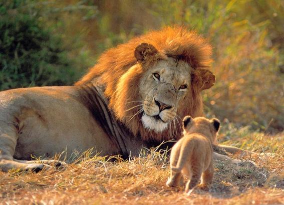 tres leones mueren atropellados por un tren en india 3