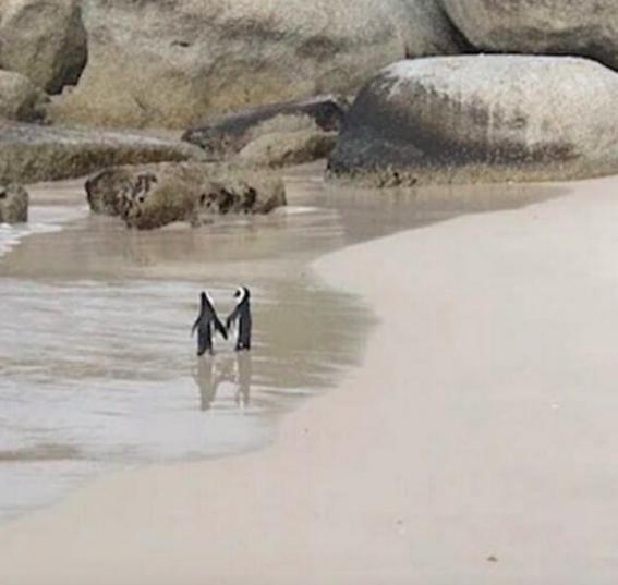 pareja de pingüinos camina de la mano por la playa en sudafrica 1