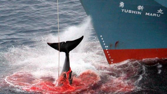 japon desea salir de la comision ballenera internacional para poder cazar de nuevo 2