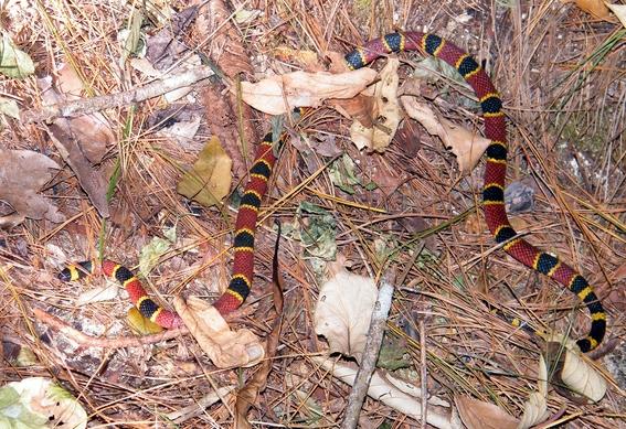 descubren nueva especie de serpiente en estomago de otra serpiente 1