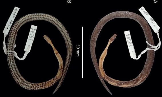 descubren nueva especie de serpiente en estomago de otra serpiente 2