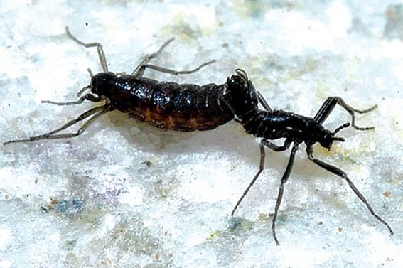 plaga de mosquitos midge invade la antartida y destruye el ecosistema 1