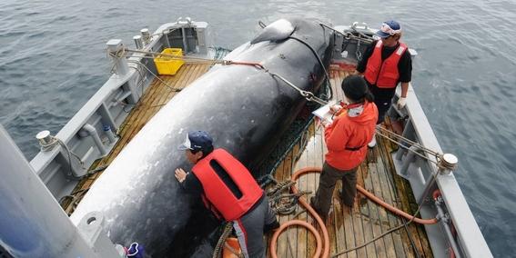 japon retomara oficialmente la caza comercial de ballenas 2