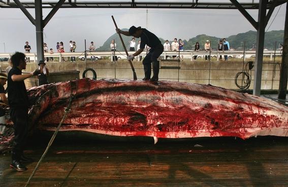 japon retomara oficialmente la caza comercial de ballenas 3