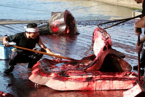 japon retomara oficialmente la caza comercial de ballenas 1